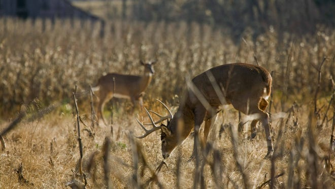 Cornfields in the southern Lower Peninsula help make for a robust deer herd.