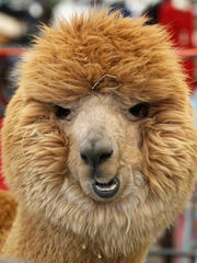 Different breeds of alpacas are on display at the Wisconsin