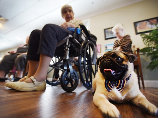 Rocco, a 10 month old pug, rests next to senior residents at Brightview Tenafly, an assisted living center, during an exercise program in Tenafly on March 6th, 2017.  He provides therapeutic benefits, including joy, calming, and is especially beneficial interacting with residents in the dementia unit.