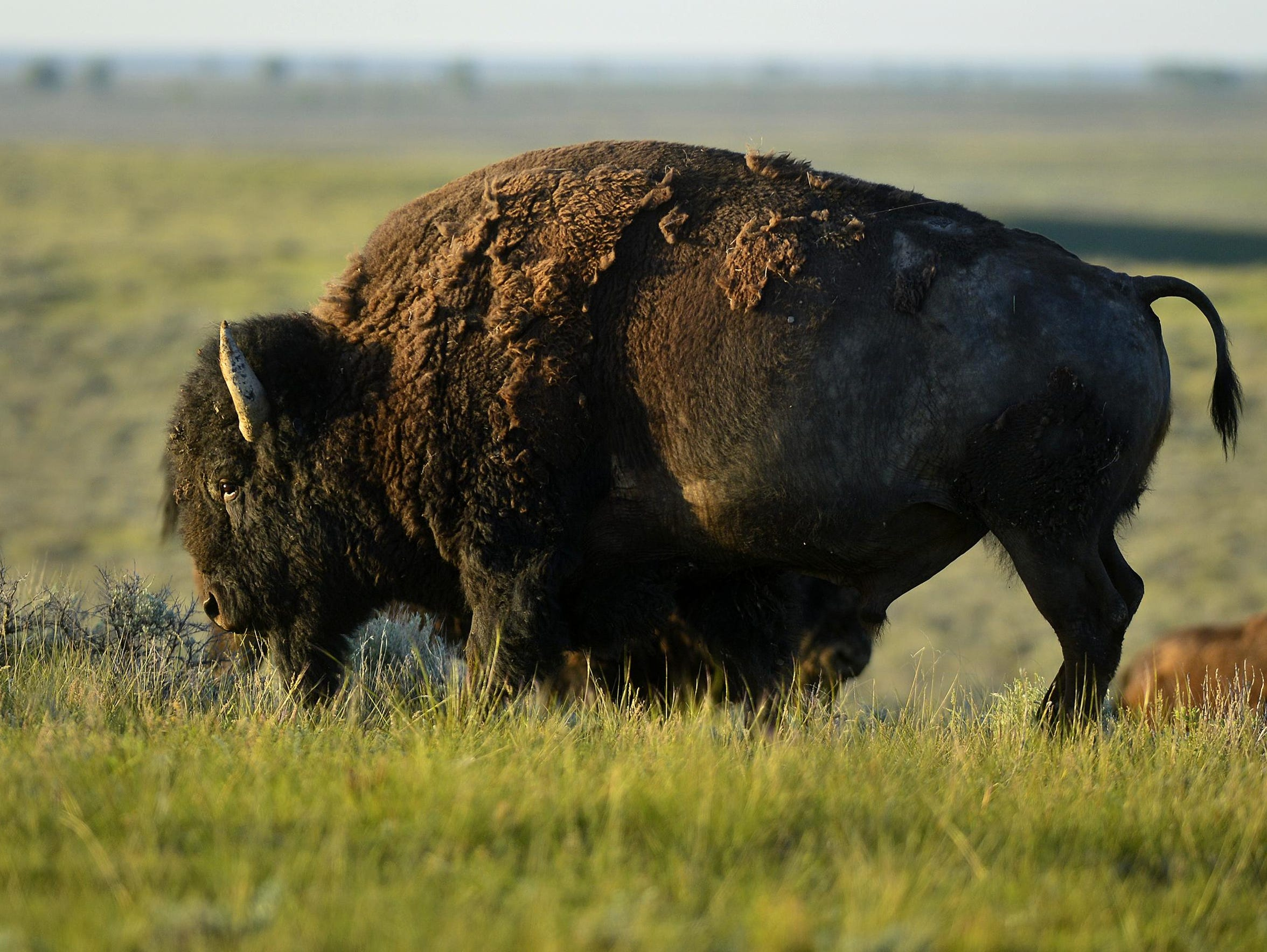 A bull bison on the American Prairie Reserve in May.