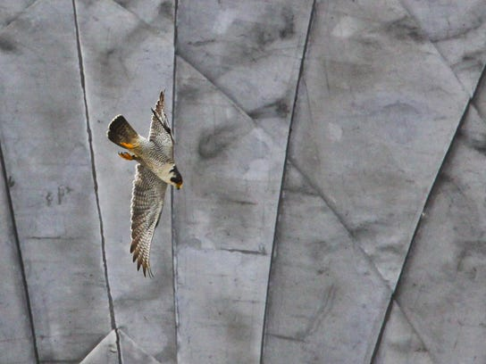 A peregrine falcon flies near the nest of young falcons