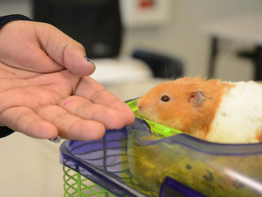 Sammy, a Syrian hampster, sniffs his owner's hand. Students in the Companion Animal Health Care class learn how to take care of many animals, including hamsters.