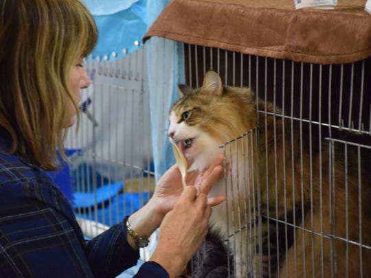 Louis, a Norwegian forest cat, eats a yogurt treat offered to him by his owner, Lucy Lehman of Mulmur, Ontario during the National Norwegian Forest Cat Breed Club Cat Show in Hammonton on Saturday and Sunday.