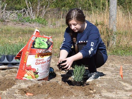 Gabrielle Torres, 16, of Buena, a junior at Buena Regional High School, plants lavender at Eden's Natural Garden in Newfield on Saturday.