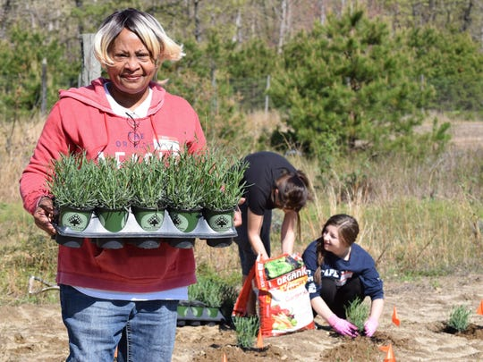 Gloria Emerson of Newfield, owner of Eden's Natural Garden, 3315 Dutch Mill Road., Newfield, carries a tray of lavender to plant on an eight-acre plot of land.
