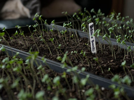 Seedlings are growing in every open window space inside the house at Naturally Sunkissed Farm in Bishopville.