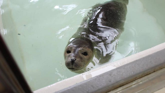 This seal, rescued by the Marine Mammal Stranding Center on a Sea Isle City beach in December passed away.