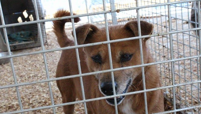 """Kincaid is one of six dogs that survived what one animal welfare group dubbed a """"dog massacre"""" in rural northern Arkansas. She is the only one currently considered adoptable."""