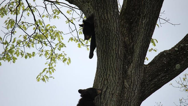 A family of bears has been spotted in the backyard of a White Meadow Lake home in Rockaway.