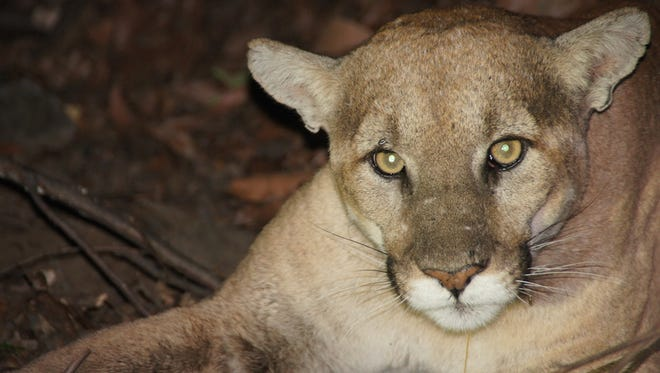 This is a file photo of a male mountain lion in the Santa Monica Mountains, an area where the cats face issues related to urban encroachment on their habitat.