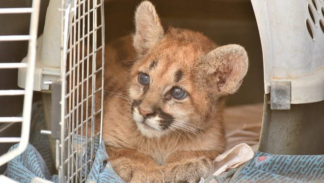 An orphaned lion cub was located near Cornville in Yavapai County recently.