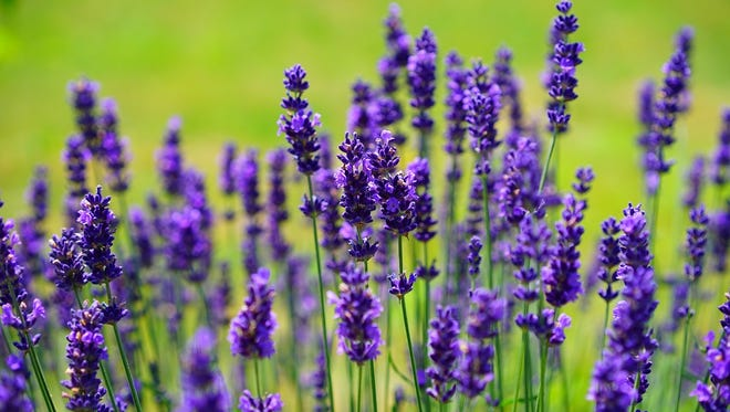 Lavender can be tough and soft, fragrant and versatile, healing and tasty.