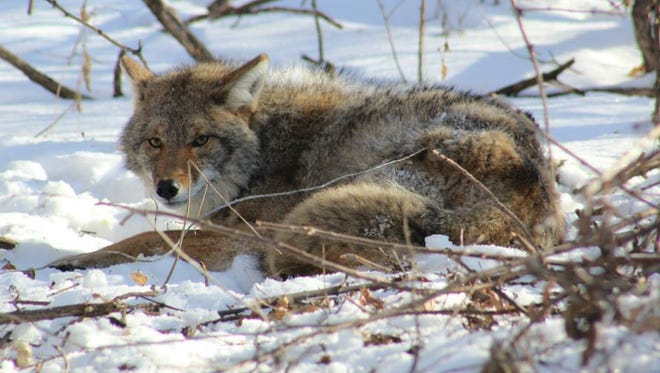 An adult male coyote waits patiently in a restraint as a team from the UW-Madison Urban Canid Project arrives.