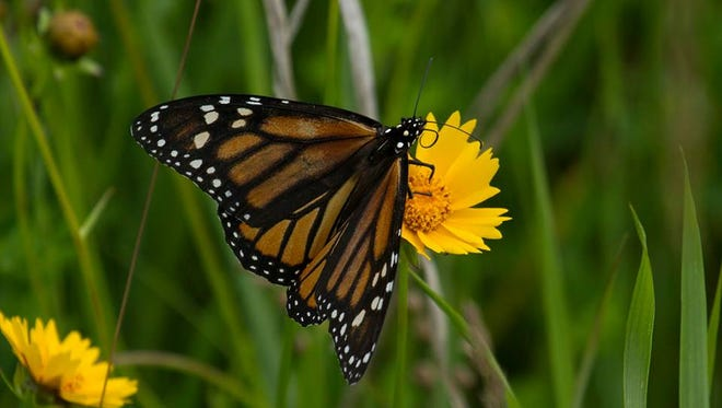 Monarch butterfly at Woodland Dunes Nature Center and Preserve in Two Rivers.