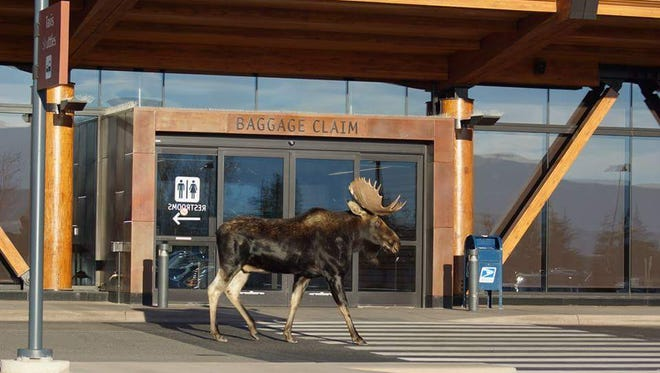 This moose stopped by Jackson Hole Airport in October 2015.