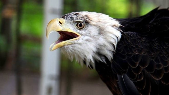 Eddie, a resident bald eagle at the Northwoods Wildlife Center in Minocqua.