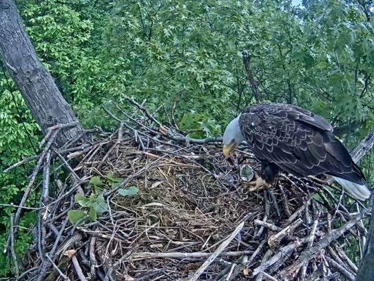 An eagle eats its own egg in late May in a nest near