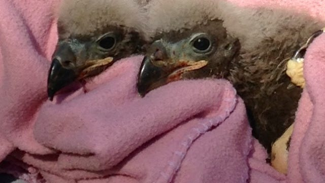 Bald eaglets that were orphaned by their parents have new families at the Wildlife Sanctuary of Northwest Florida.