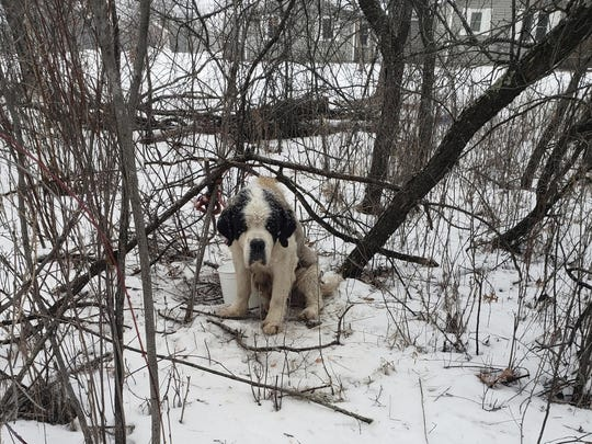 A 10-year-old St. Bernard named Old Lady. The dog who