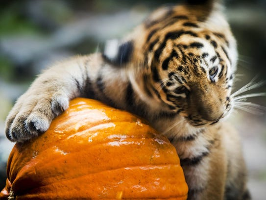 A Siberian tiger plays with a pumpkin at the Dierenpark