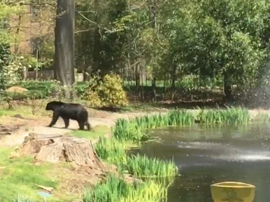 A large black bear spotted in the backyard of a North Jersey home last April.