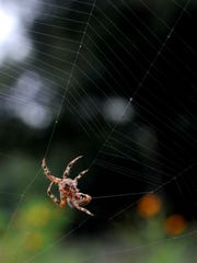 A spider spins her web Thursday at the Brownwood Area