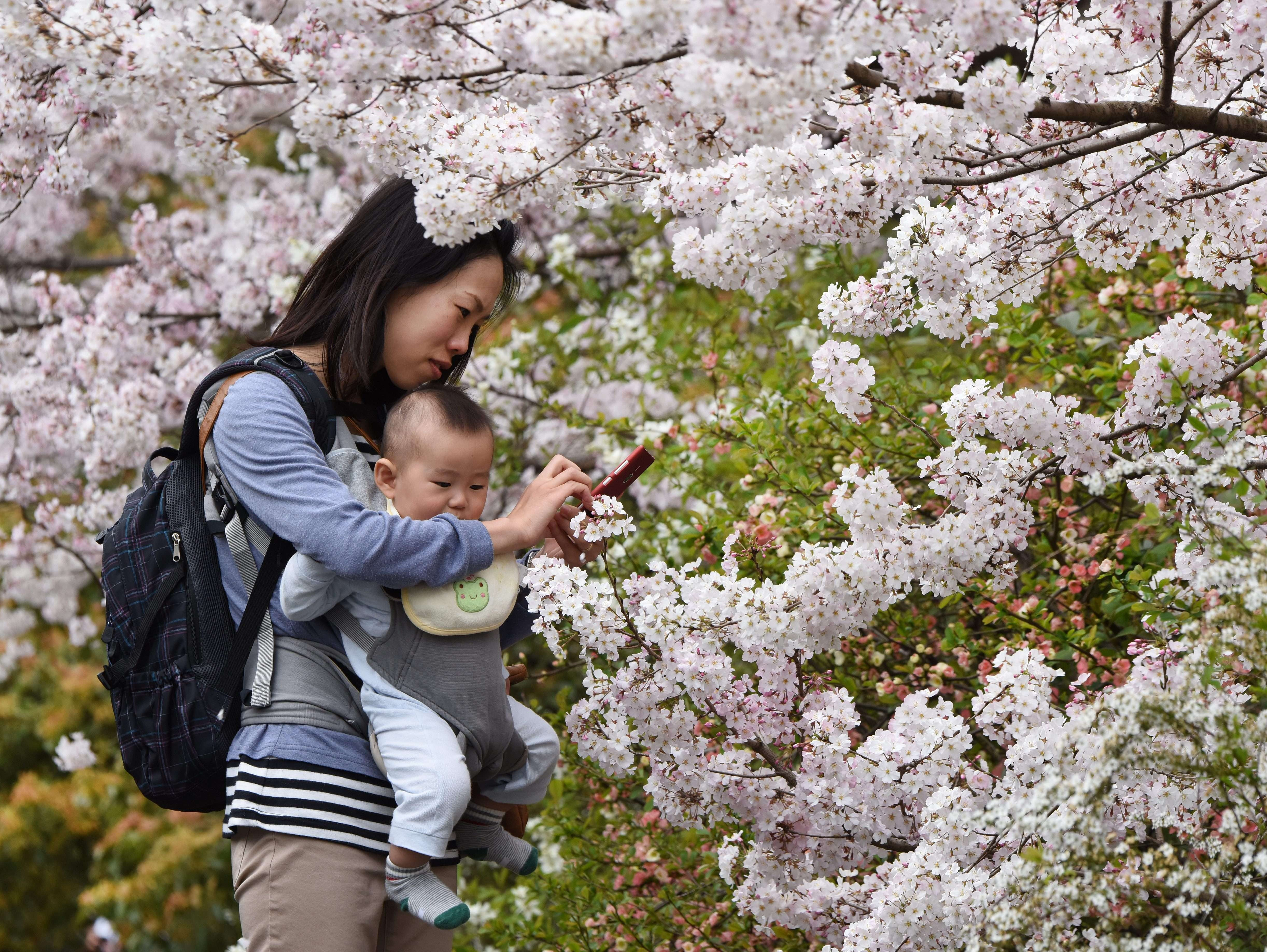 A mother  takes pictures with her smartphone under cherry blossoms in  in Tokyo on March 29.