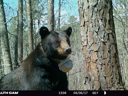 A large black bear photographed near its den in Texas County in 2017. It's wearing an MDC tracking collar as part of ongoing research into how they are faring in Missouri.