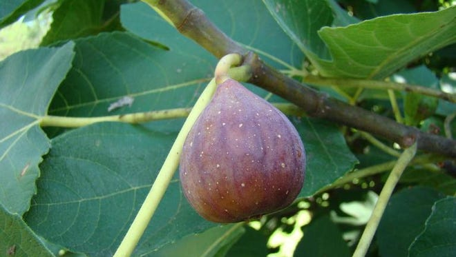 Fig trees and fig wasps have co-evolved and are completely dependent on each other.