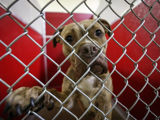 Julep, a terrier and pit bull mix, is available for adoption at the Brandywine Valley SPCA. The shelter holds its grand opening Saturday in New Castle.