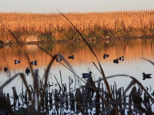 Especially in the season's opening weeks, it's common for hen mallards to decoy readily.