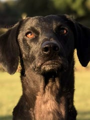 Dakota is a 3-year-old, 29-pound, neutered male dachshund/terrier