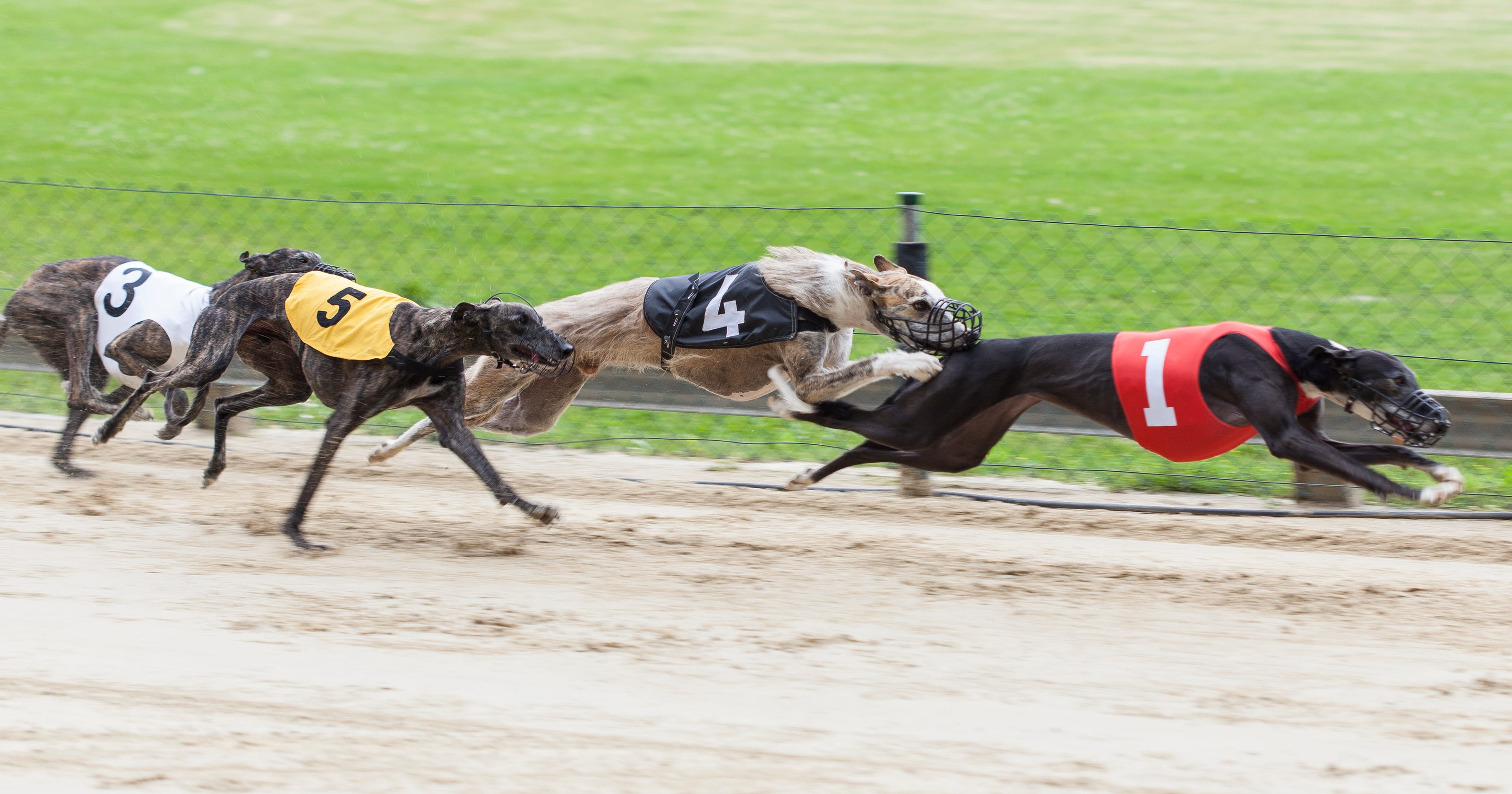 Greyhound Racing In America
