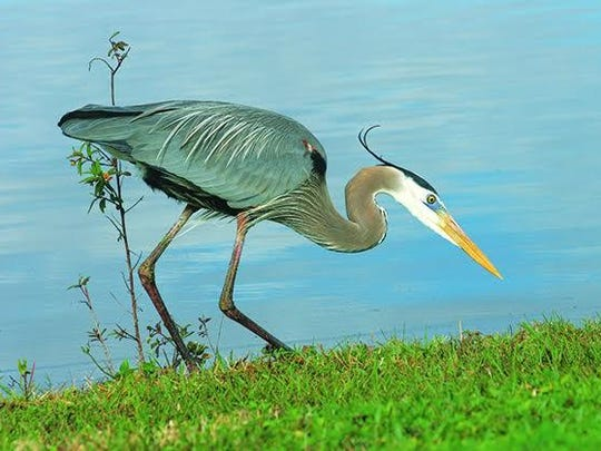 Great Blue Heron on the water's edge.
