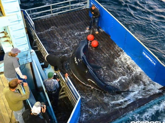 This Daily Times file photo shows OCEARCH researchers