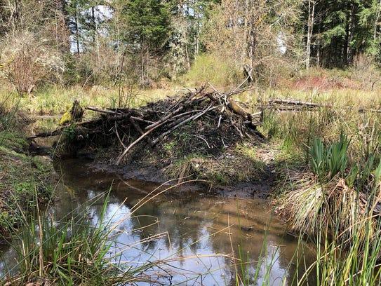 A  beaver  lodge  at  John  Neal  Memorial  Park  near