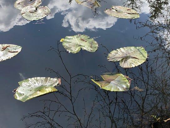 Pond Lilies at John  Neal Memorial Park