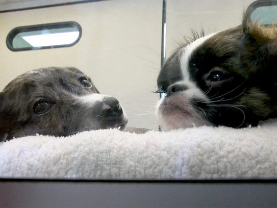 A Chiweenie (left) and a Chug rest at Bark Avenue Puppies
