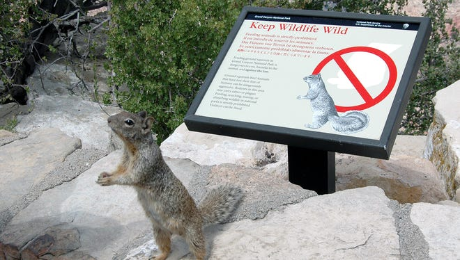 "The rock squirrel, native to Mexico and the Southwest, is ""the most dangerous animal"" in the Grand Canyon."