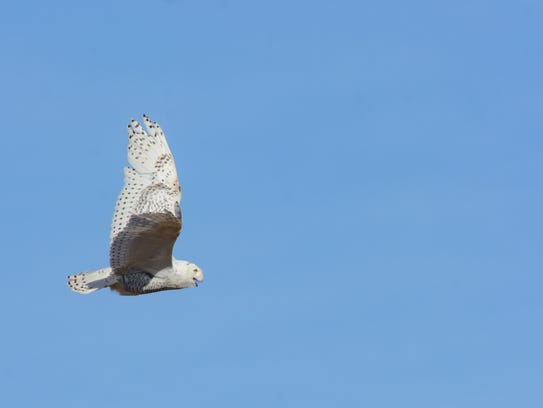 A lucky snowy owl is released to flight in Greene County