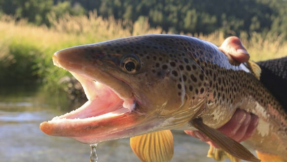 I probably won't catch any trout that look like this