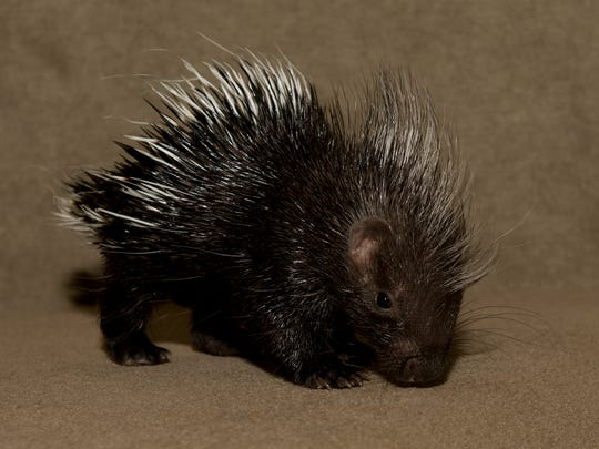 An African Crested Porcupine born at The Living Desert in Palm Desert on March 10, 2016.