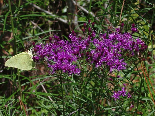 Ironweed (Vernonia gigantea) is a long-lived perennial