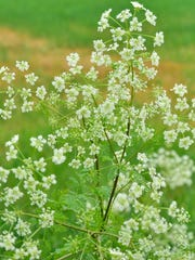 Poison hemlock grows  wild along the side of the road