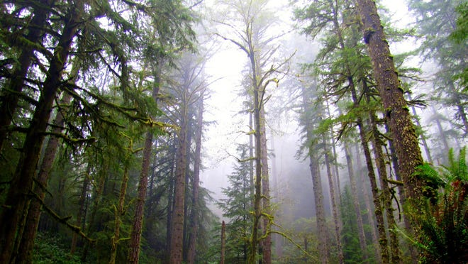This photo provided by the Oregon Department of Forestry shows a stand of trees on the Elliott State Forest north of Coos Bay.