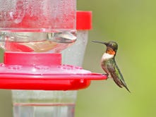 You could see hummingbirds in your backyard again soon
