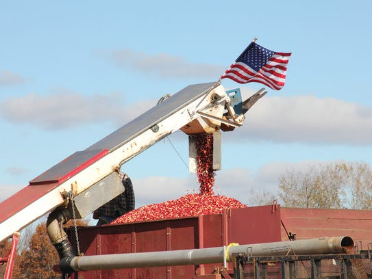 Glacial Lake Cranberries employees work to harvest