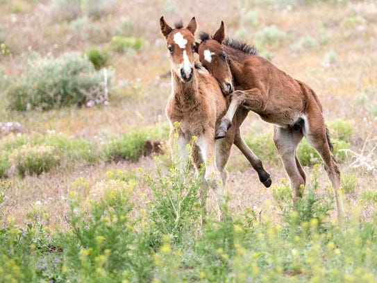 Young horses play in the range outside Reno.
