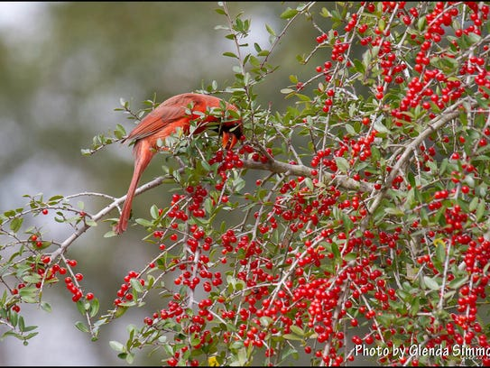 A male cardinal feasting on native yaupon holly berries.