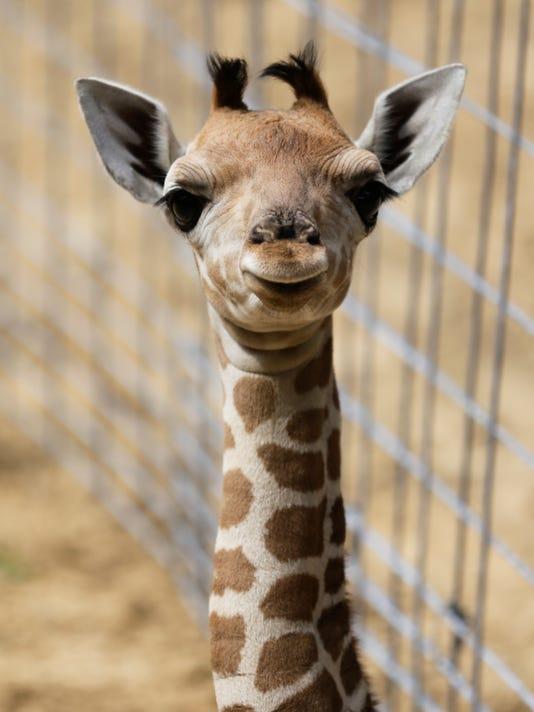 636010972535558357-giraffe-6554.jpg
